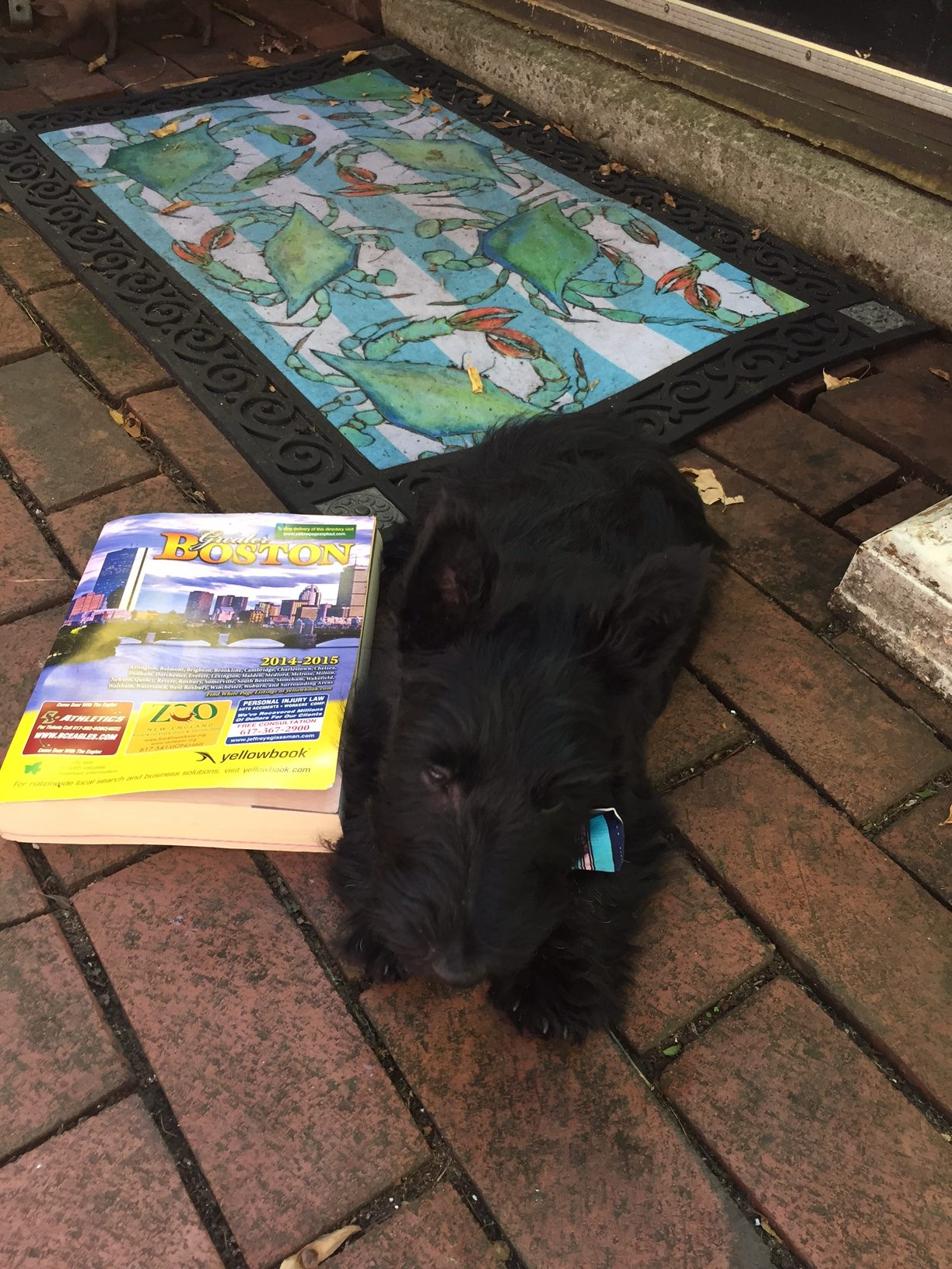 13-week-old Scotty puppy named Charlie