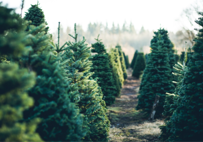 Amazon To Offer Christmas Trees This Holiday